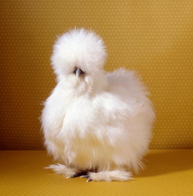 tamara-staples-pretty-chicken-fancy-white-silkie-1